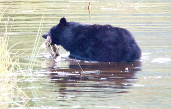 Island Wings Air Service: Bear catching his lunch....nice sized salmon.