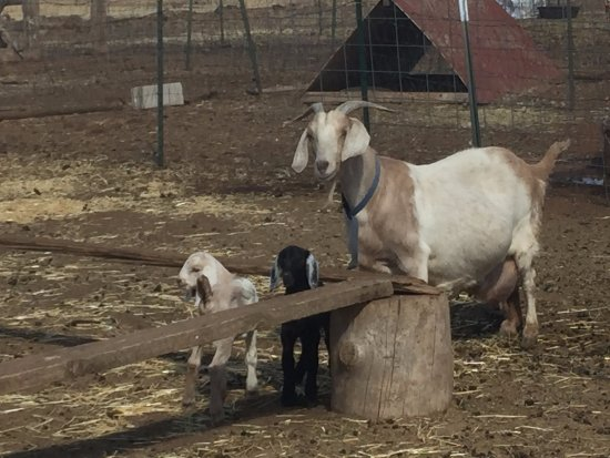 Elkhorn Bed and Breakfast: Brand new baby goats. So cute.