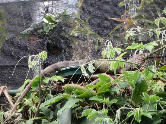 Can you see the 4 foot iguana? - Picture of Victoria Butterfly ...