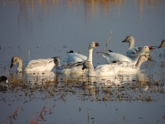 Snow geese at the Merced National Wildlife Refuge