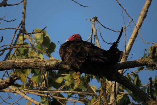 Turkey vulture at the Merced National Wildlife Refuge
