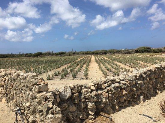 Aruba Aloe Balm: photo2.jpg