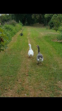Beaulieu-les-Loches, Francia: Les jolies petites oies ❤️