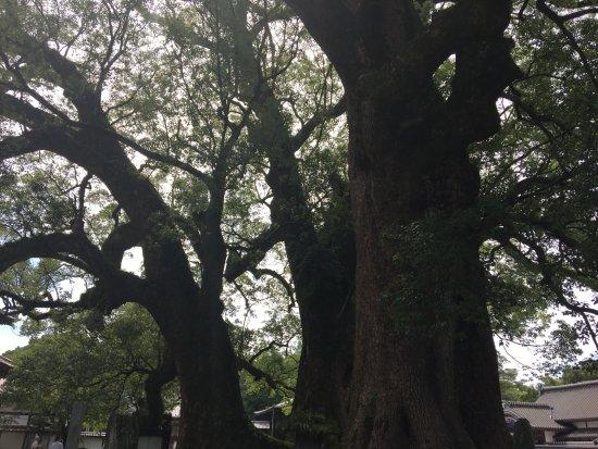 Kurume, Japan: 境内の大きな木
