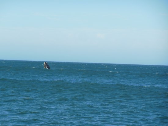 Hermanus, Südafrika: One of the whales popped up to say hello!