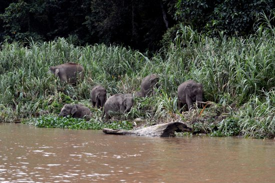 Sukau, Malásia: Kinabatangan Jungle Camp is very good place to see pigmy elephants