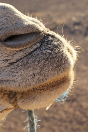 79245044b3 Camels smell. . ..but they re really cute and these guys are loved ...