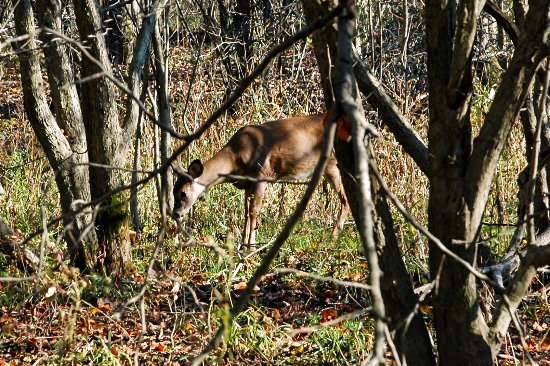 Lagrange, OH: Deer are Common Sights