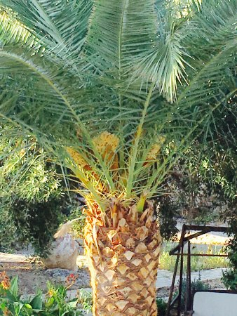 Rethymnon Prefecture, Grèce : Palm tree
