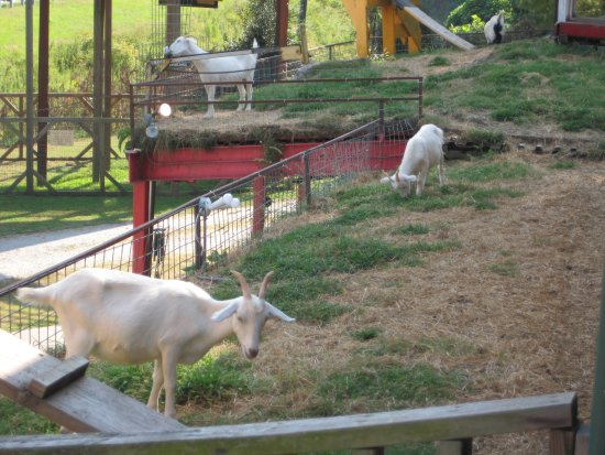 Tiger, GA: Some of the goats