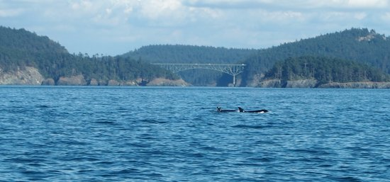 Edmonds, WA: orcas with the Deception Pass bridge in the background
