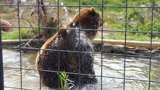 Kamloops, Kanada: The grizzly bear taking a shower. He was having a lot of fun.