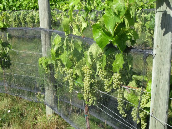 Wine Your Way Tours: Grapes used for the wine.