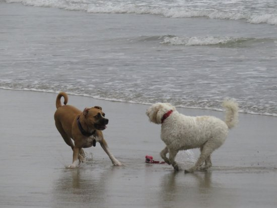 Del Mar, Kaliforniya: dogs on beach in surf