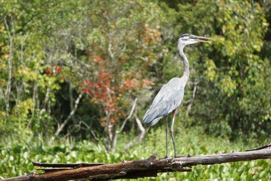 Westwego, LA: One of the birds we saw