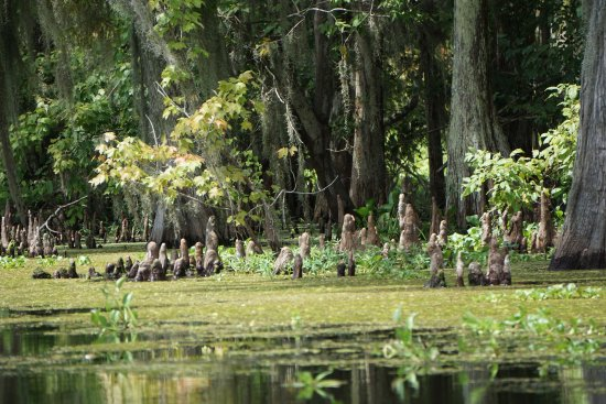 Westwego, LA: Swamp Tour