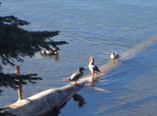 Diamond Lake, Oregón: Ducks in the lake (?mergansers perhaps)