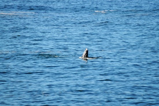 "Grey whale ""Spyglassing"" in Depoe Bay harbor"