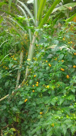 Amazon Refuge : the pepper plant native to Amazon