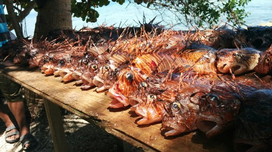 Placencia, Belize: Marco's new PB with 121 lionfish in a single dive. We all ate well that night. Lionfish ceviche!
