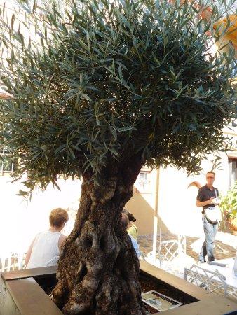 Atemberaubend Ein wunderschöner alter Olivenbaum - Bild von Allendorf im #AP_14