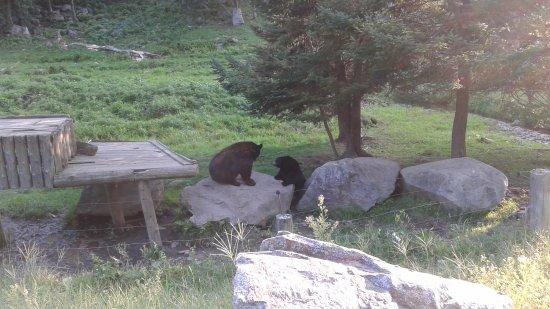 Montebello, Kanada: orsi neri