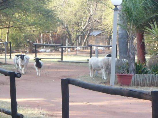 Modimolle (Nylstroom), جنوب أفريقيا: The goats and sheep wander past which gives it a farm feel