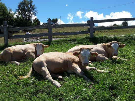 Agriturismo Malga Roccolo: le mucche al pascolo