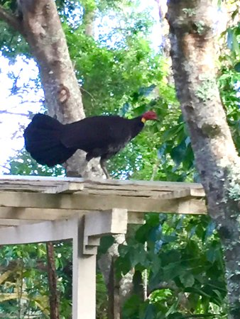 Cavvanbah Beach House: My morning visitor, a Bush Turkey. The locals have a love/hate relationship with them.