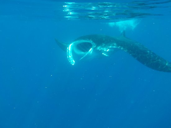 Holbox Whale Shark Tours with Willy's Tours: Manta Ray