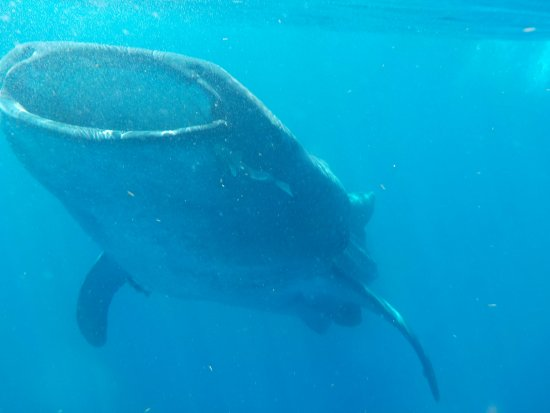 Holbox Whale Shark Tours with Willy's Tours: This medium Whale Shark was about 26 feet (8 meters)