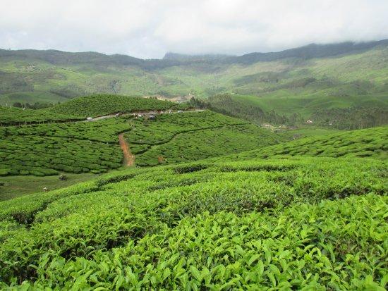 lush green tea gardens of munnar - Picture of Tea Gardens, Munnar ...