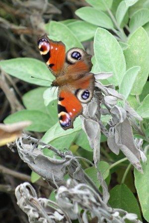 Malleny Garden: Butterflies