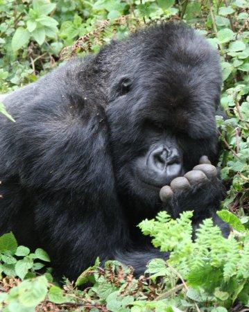 Volcanoes National Park: Rencontre avec les Gorilles