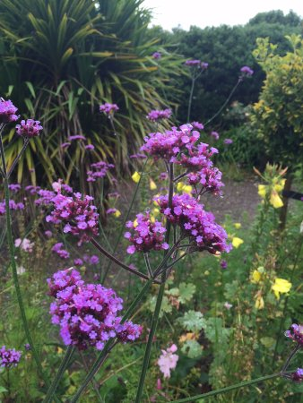 Bantry House B&B: verbena in the garden to attract bees