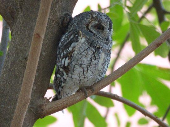Satara Rest Camp: African Scops Owl - Satara Reception area