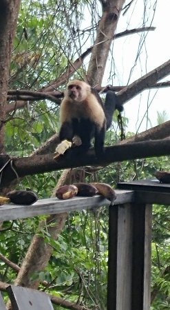 Carate, Costa Rica: Monkey!