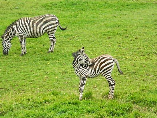 The Lake District Wildlife Park: zebras