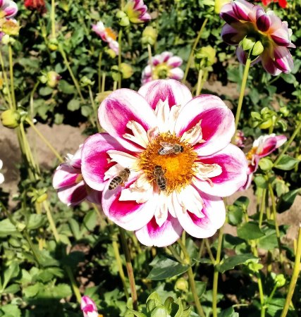 Canby, OR: Bees love the Bumble Rumble dahlia.