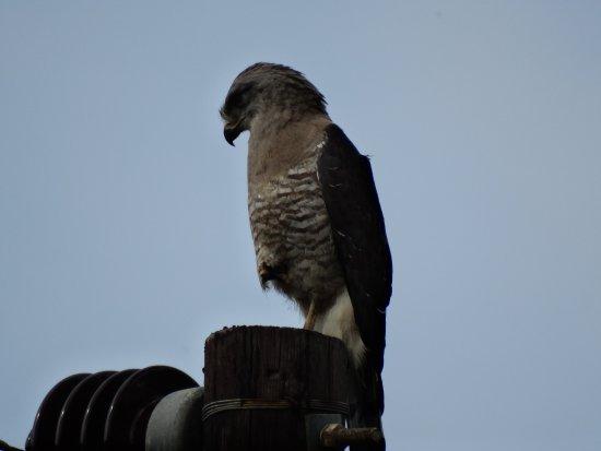 St Lucia, Afrika Selatan: Banded Snake Eagle