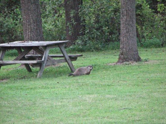 Dillsburg, PA: Groundhog