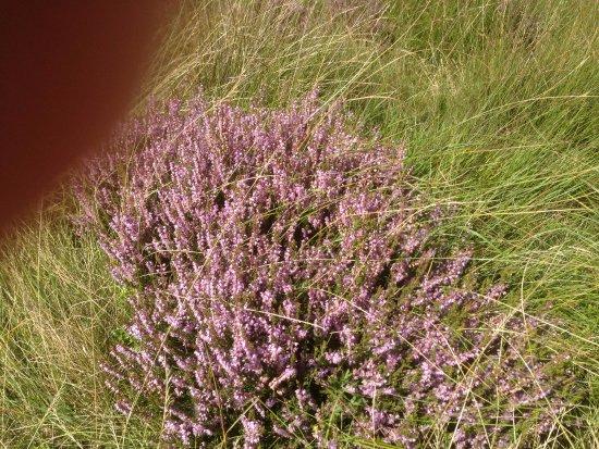 Hathersage, UK: Heather growing near Owler Tor