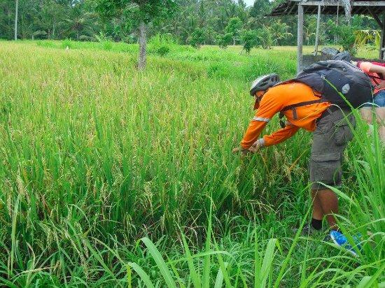 Bali Rocky Mountain Cycling Tour : Gede notre formidable guide nous explique le riz