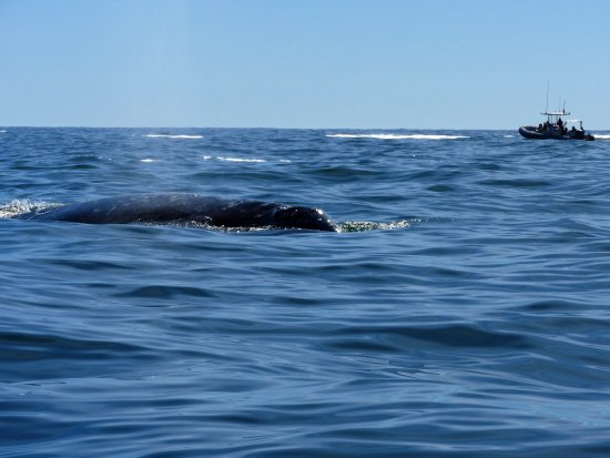 Depoe Bay, OR: Gray whale
