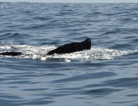 Depoe Bay, OR: Gray whale tail fluke