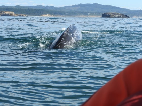 Depoe Bay, OR: The orange is the life vest of the person sitting next to me. That is how close the whale was.
