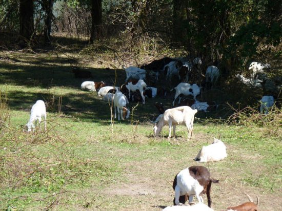 Surrey, Canadá: A herd of goats