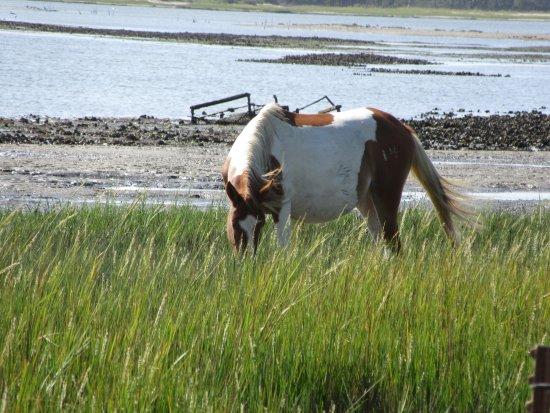 Daisey's Island Cruises: Chincoteague pony