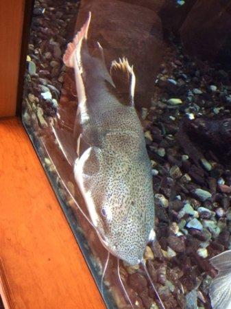 Hamburg, PA: One of the many big fish.