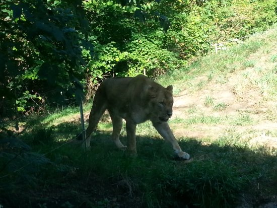 Pittsburgh Zoo & PPG Aquarium: Beautiful big cat....